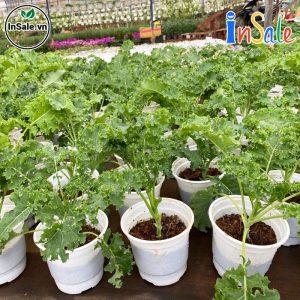 Cây Giống Cải Xoăn Kale