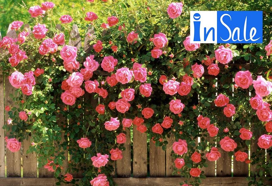 Cách trồng và chăm sóc hoa hồng