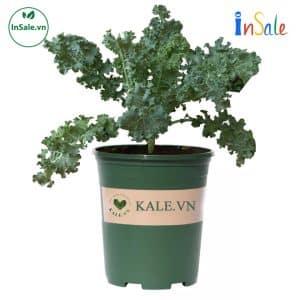 chau cay kale insale 1